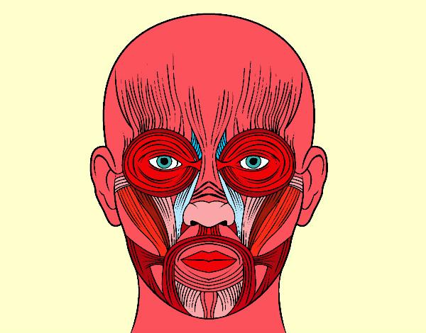 Dibujos De Aplicacio De Partes De La Cara: Musculos De La Cara Para Colorear Con Sus Partes