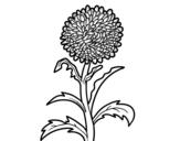 Dibujo de Aster para colorear