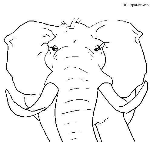 Dibujo de Elefante africano para Colorear  Dibujosnet