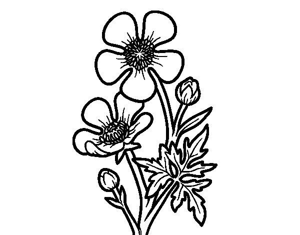 Dibujo de Flor botón de oro para Colorear