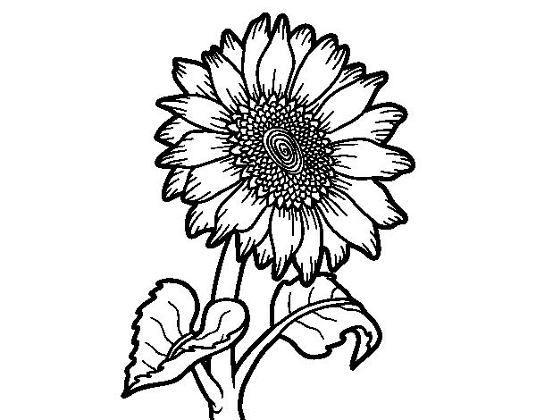 Dibujo De Flor De Cerezo Para Colorear: Dibujo De Flor De Girasol Para Colorear