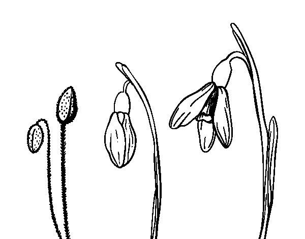 Dibujo de Flor de nieve para Colorear