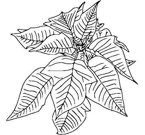 Dibujo de Flor de pascua para Colorear  Dibujosnet