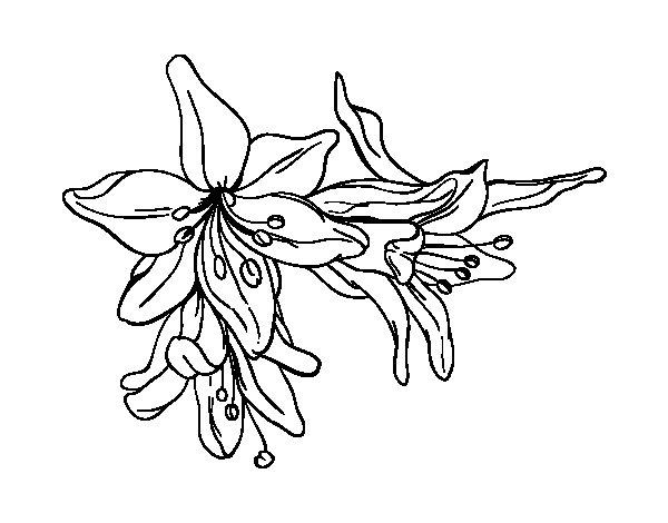 Dibujo de Flores de lilium para Colorear
