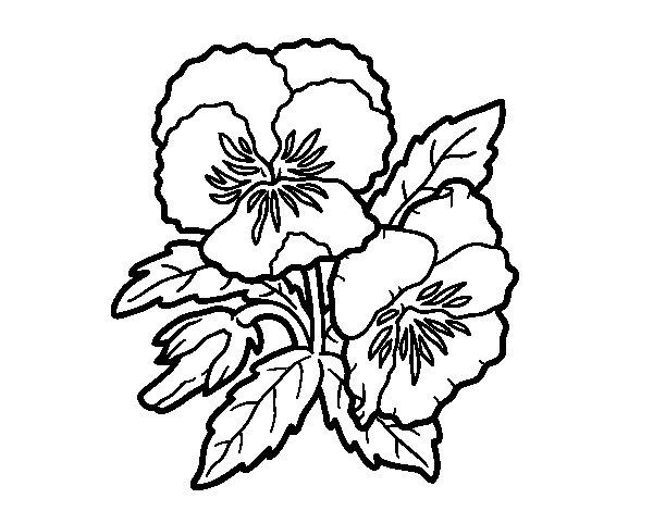 Dibujo de Flores de pensamiento para Colorear