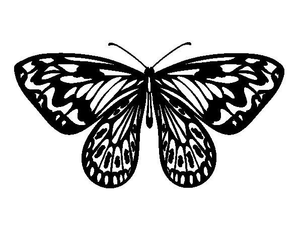 Dibujo de Mariposa alexandra para Colorear