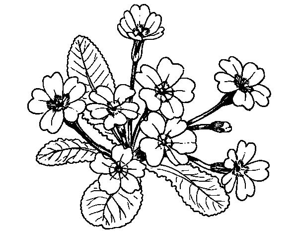 Dibujo de primula para colorear for Primule da colorare