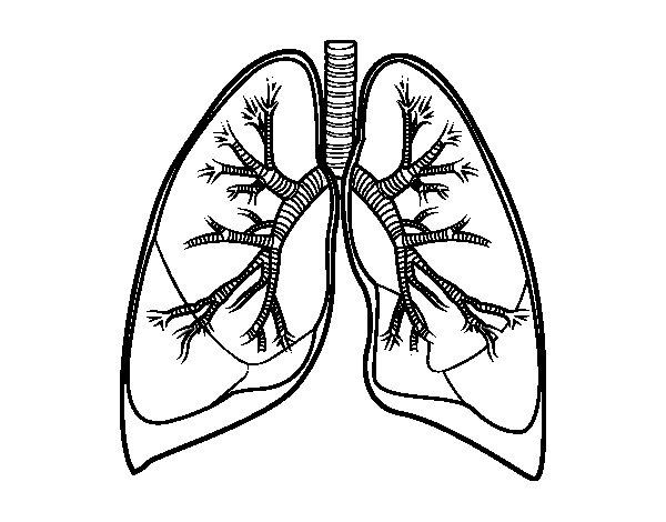 Dibujo de Pulmones y bronquios para Colorear