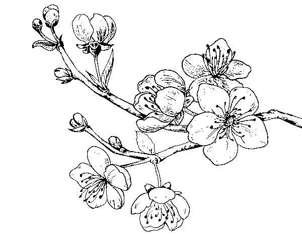 Dibujo De Flor De Cerezo Para Colorear: Dibujo De Rama De Cerezo Para Colorear