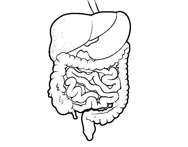 Sistema digestivo para colorir - Imagui