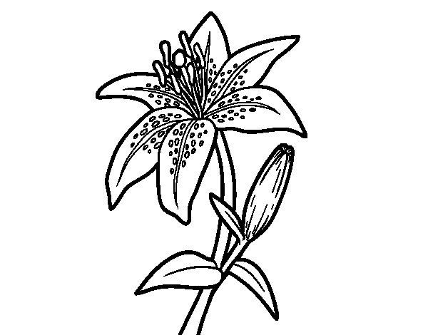Dibujo de Una azucena para Colorear