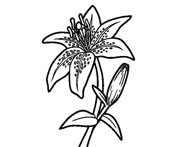 Dibujo de Una azucena para Colorear  Dibujosnet