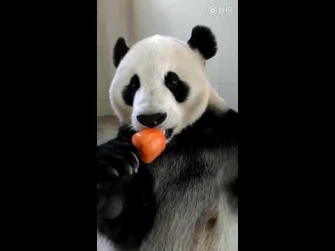 Un panda comiendo un helado