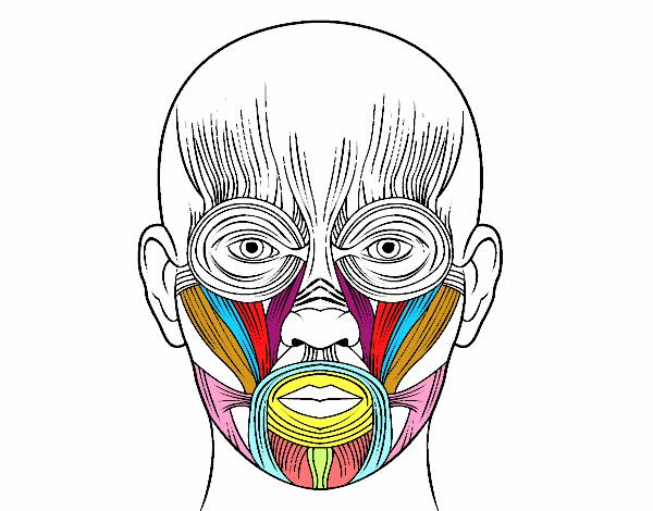 Dibujo de Músculos de la cara pintado por en Dibujos.net el día 23 ...