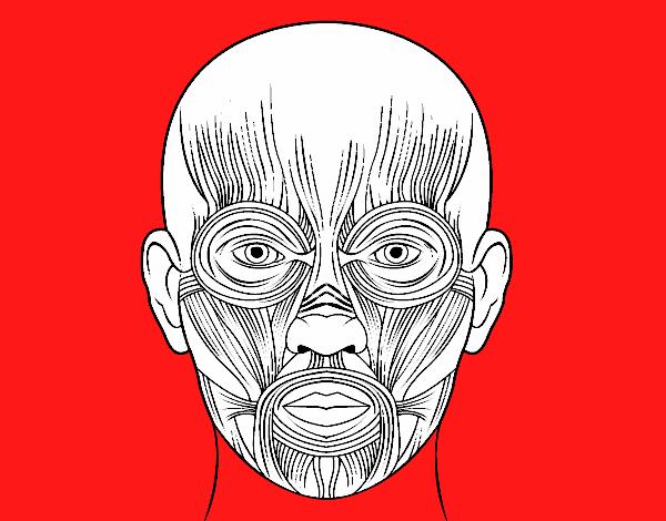 Dibujo de Músculos de la cara pintado por en Dibujos.net el día 12 ...
