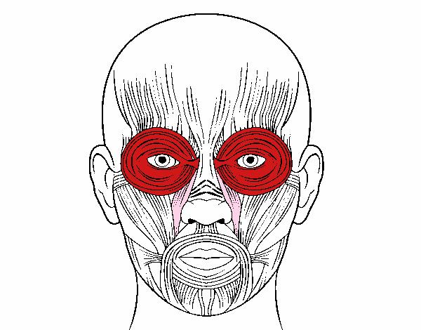 Dibujo de Músculos de la cara pintado por en Dibujos.net el día 05 ...