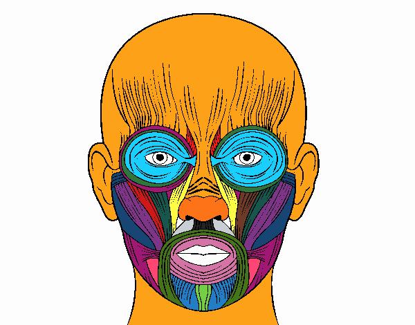 Dibujo de Músculos de la cara pintado por en Dibujos.net el día 24 ...