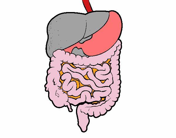 Dibujo De Sistema Digestivo Pintado Por En Dibujosnet El