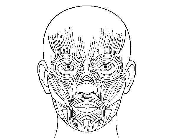 Dibujo de Músculos de la cara para Colorear - Dibujos.net