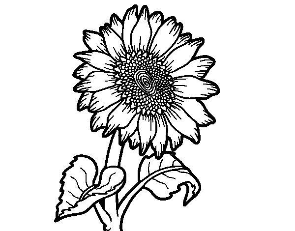 Dibujo de Un girasol para Colorear   Dibujos.net
